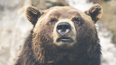 Grizzly Bear portrait uhd wallpapers.