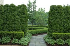 Formal path with arborvitae and boxwood by Land Architects. Via Houzz.