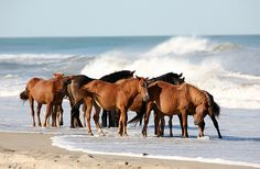 Wild horses on the Outer Banks of North Carolina.  Photo by Robert Och Photography, via Flickr