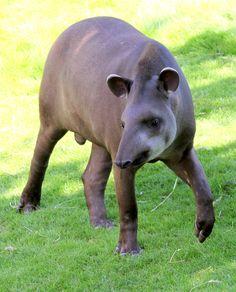 <3 male Lowland Tapir