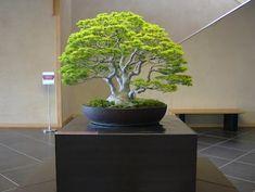 Bonsai. Very Nice!