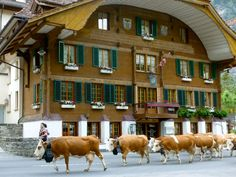 Cow parade in Kandersteg, Switzerland. A village of approximately souls, Kandersteg is nestled in the Bernese Oberland Switzerland Bern, Switzerland Vacation, Switzerland Christmas, Great Places, Places Ive Been, Places To Go, Beautiful Places, Winterthur, Zermatt