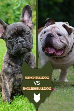 Are you interested in the French or English Bulldog for your next canine companion? Or maybe you are just curious about the differences and similarities between these two breeds.  Stick around as we take a closer look at these two popular small bulldog breeds. French Bulldog Breed, Bulldog Breeds, Best Dog Breeds, Best Dogs, Dog Breed Info, Nanny Dog, The Perfect Dog, Getting A Puppy, Aggressive Dog