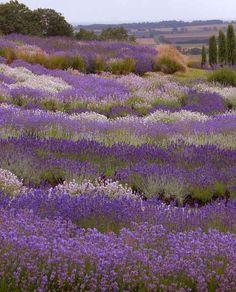 Yorkshire Lavender 2