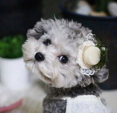 Micro Teacup Puppies, Animals And Pets, Cute Animals, Poodles, Funny Cats, Dogs And Puppies, Teddy Bear, Beauty, Pets