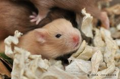 Caramel lh hamster baby 18 days old (bbee - ll)