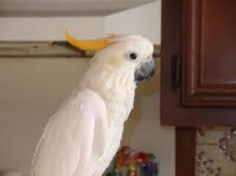TANG is an adoptable Cockatoo Parrot in Mantua, OH. Tang is a Citron Cockatoo. He is very active and needs a home that can offer lots of time and affection. Tang's adoption fee is $350.00. If you are ...