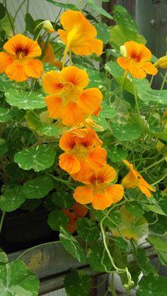interplant nasturtium for pest  control