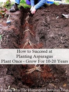 The Homestead Survival | How to Succeed at Planting Asparagus Homesteading Garden | thehomesteadsurvi...