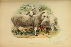 Shanghai Sheep - high resolution image from old book. Vintage Artwork, Vintage Prints, Vintage Images, Victorian Crafts, Scrapbook Paper Crafts, Pictures To Paint, Pet Birds, Decoration, Sheep
