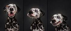 Dogs Catching Treats in Pictures  Most dog owners know the fun involved with taking pictures of there furry friend. There are some situations that can be tricky unless you are a top photographer.    German photographer Christian Vieler