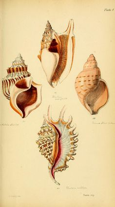 Shells, antique print