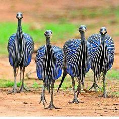 Vulturine Guinea Fowl, Native to Africa Pretty Birds, Love Birds, Beautiful Birds, Animals Beautiful, Cute Animals, Unique Animals, Exotic Birds, Colorful Birds, Exotic Animals