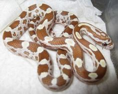 Corn Snake Hatchling : need to read to see what this morph is called Python Royal, Pretty Snakes, Beautiful Snakes, Cute Reptiles, Reptiles And Amphibians, Zoo Animals, Cute Animals, Milk Snake, Colorful Snakes