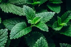 7 awesome plants that repel bugs and pests - Garden Organize Peppermint Tea Benefits, Peppermint Plants, Peppermint Leaves, Planting Seeds, Planting Flowers, Plants That Repel Bugs, Growing Mint, Natural Insecticide