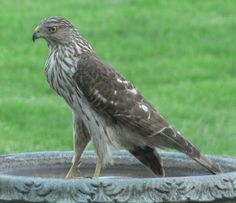 44 Best Birds Of Pennsylvania Images Grouse Pennsylvania Wildlife