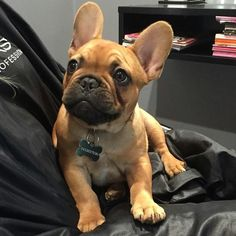 Kendrick is 4 months today ❤ ™ @kendrick.frenchie #Buldog