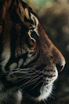 Amazing wildlife - Tiger photo #tigers by Anthony Graziano