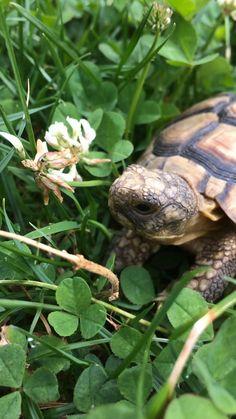Cute Tortoise, Tortoise Habitat, Tortoise Turtle, Animals And Pets, Funny Animals, Cute Animals, Majestic Animals, Animals Beautiful, Reptile Rescue