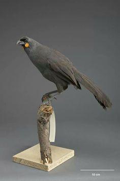 South island Kokako....extinct....maybe not? South Island, Endangered Species, New Zealand, Creatures, Birds, Extinct, Animals, Earth, Group