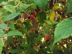 Göcsej tájegység ízei: Málna…, mint növényi gyógyszer.