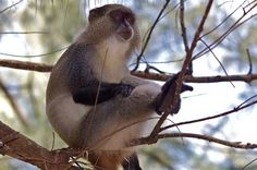 Monkeys Use Researchers as Human Shields | A team of researchers working in South Africa have a sneaking suspicion that they're being used as human shields. Monkeys who normally spend their time in trees avoiding predators like leopards and raptors seem to relax their vigilance a little around humans, venturing down to eat.