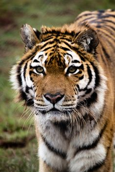 ☀South Lakes Wild Animal Park -Sumatran Tiger (by andyoafmcgarry)