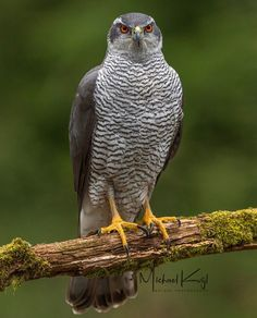 Northern Goshawk, Ocean Ecosystem, Hawk Bird, Zoo Photos, Different Birds, Birds Of Prey, Bird Species, Raptors, Plein Air
