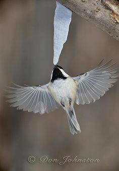Black-capped Chickadee (Poecile atricapillus) sipping maple sap drips from a 'maple-icicle'.