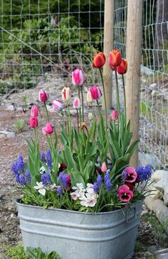 Roses, pansies, tulips, daffodils, alliums, muscari, hyacinths in a metal tub.