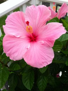 My beautiful hibiscus plant!