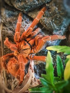 "My Pterinochilus Murinus (Orange Baboon Tarantula) ""Tango"""
