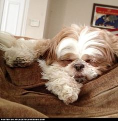 Shih Tzu Puppy Sleeping • APlaceToLoveDogs.com • dog dogs puppy puppies cute doggy doggies adorable funny fun silly photography