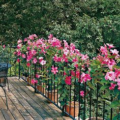Mandevilla | Mandevillas in containers twine through this railing on a rooftop deck. Reveling in hot weather, mandevilla can grow more than 10 feet a year.