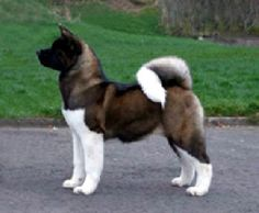 "Click visit site and Check out Cool ""Akita Dog"" T-Shirts & Hoodies. This website is top-notch.  Tip: You can type ""your first name"" or ""your favorite shirts""  by using search bar on the header.   #akita"