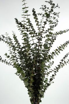 Eucalyptus branches in a tall vase makes the house smell so good!