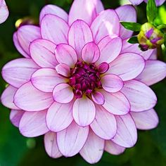 Dahlias, Late Summer's Drama Queens | Backyards Click