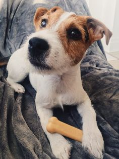 jack russell terrier - Tap the pin for the most adorable pawtastic fur baby apparel! You'll love the dog clothes and cat clothes! <3