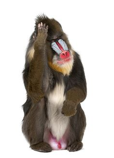 Mandrill (Mandrillus Sphinx) is a primate of de Old World monkey
