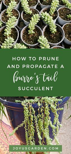 Burro's Tail Sedums are unique hanging succulents which propagate easily. Here are things to know about pruning & propagating a burro's tail succulent. Propagating Succulents, Succulent Gardening, Succulent Care, Organic Gardening, Plant Propagation, Succulent Planters, Indoor Gardening, Hanging Succulents, Succulents Garden
