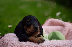 Doxie Puppies, Dachshunds, Cute Puppies, Brown Dachshund, Sausages, Brittany, Palace, Miniature, Cute Animals