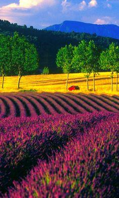 Lavendel velden, Frankrijk