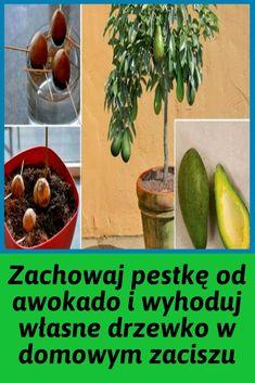 How To Grow Your Own Avocado Tree In Small Garden Pot ! Small Garden Pots, Potager Palettes, Guacamole, Fruit Vert, Growing An Avocado Tree, Mimosas, Grow Your Own, Container Gardening, Healthy Life