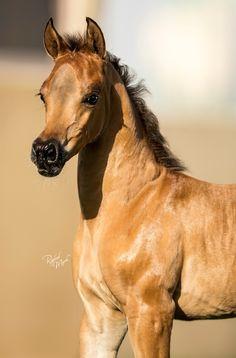 ☀Ajman Stud's ~ Gorgeous Arab foal