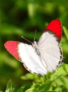 This is my absolute favorite kind of butterfly, the Colotis Danae, or Crimson-Tipped Butterfly. It lives in Asia and Africa. I first saw it on a brief safari in Uganda. That was when I fell in love with butterflies...