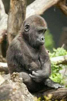 Gorilla by A. J. Haverkamp