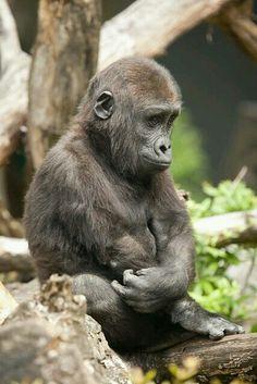 Gorilla by A. J. Haverkamp