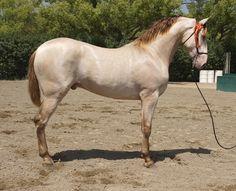 Don Divo PM Pearl Buckskin PRE Stallion