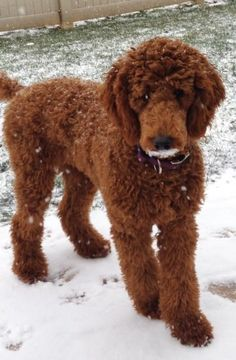 Check Out Poodle Puppy Mix Toy Poodle Full Grown Source by The post Toy Poodle Full Grown appeared first on Coulson Puppies. Poodle Mix Puppies, Puppy Mix, Cute Puppies, Cute Dogs, Corgi Puppies, Yorkie Poodle, Havanese Dogs, Shiba Inu, Poodle Haircut Styles