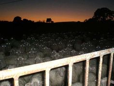 The sheep are always watching!!!